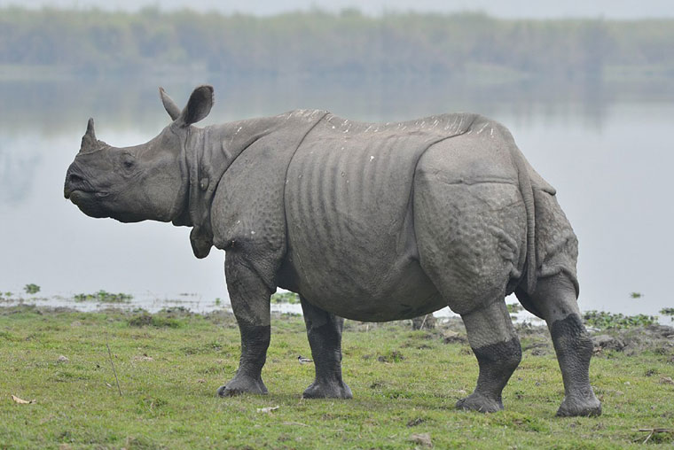 kaziranga tour packages, kaziranga travel packages, kaziranga tour package cost, guwahati shillong kaziranga tour packages, guwahati shillong kaziranga tour packages price, guwahati shillong cherrapunjee kaziranga tour packages, shillong kaziranga tour package, guwahati shillong kaziranga tour package cost, kaziranga tour packages from guwahati, tour packages kaziranga national park, kaziranga national park tour packages from guwahati, tour packages to kaziranga national park